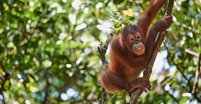 A wildlife reserve in Borneo is home to this orang-utan