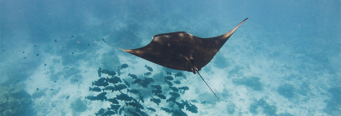 Manta rays under threat: how we can help