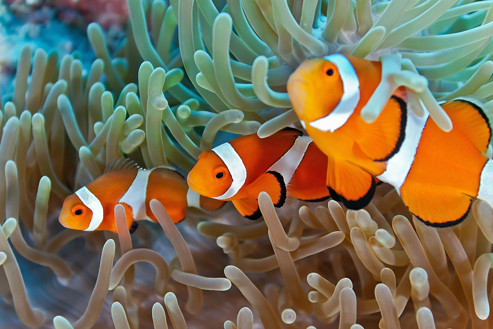An introduction to the great barrier reef kuoni for Clown fish habitat