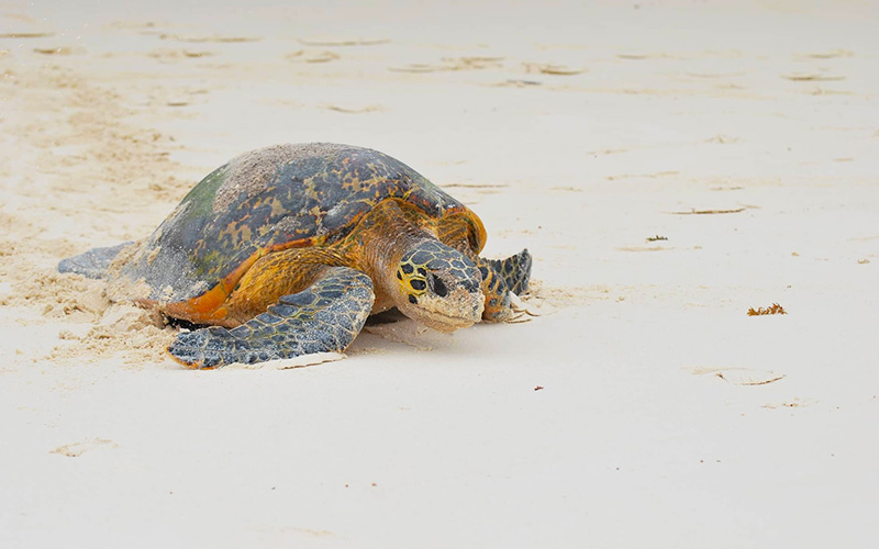 Turtle on a Seychelles beac