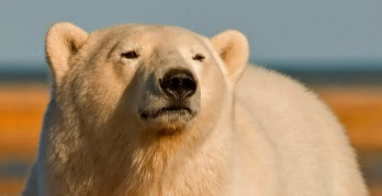A guide to polar bear spotting in Canada