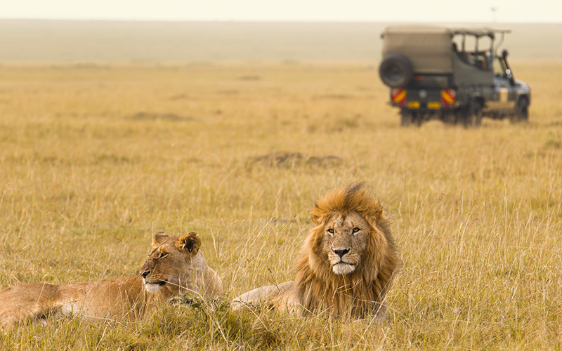 Viewing Lions on Safari