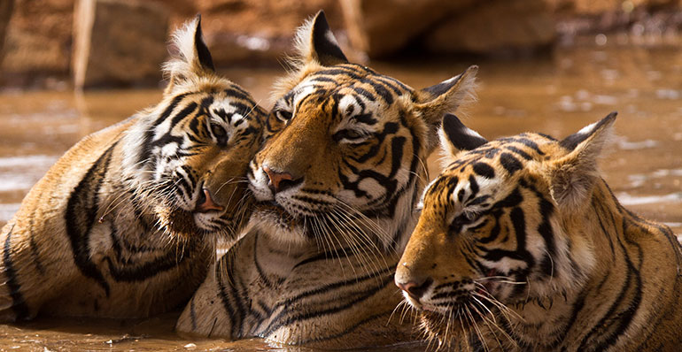 Family of Tigers in Ranthambore National Park