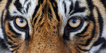 Everything you need to know to spot Tigers in India