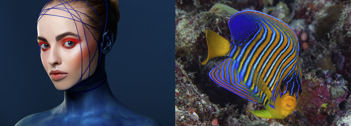 The Regal Angelfish