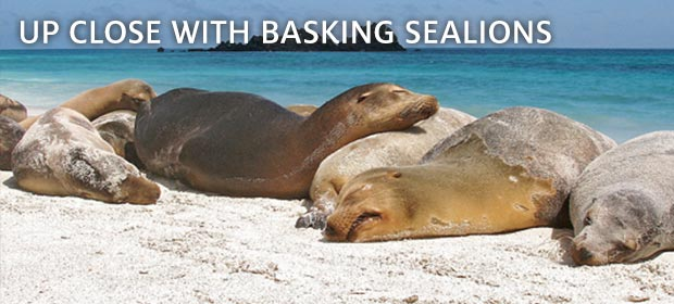 Galapagos Basking Sealion