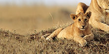 The story of the lost lion cub