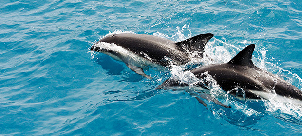 Maldives Dolphins