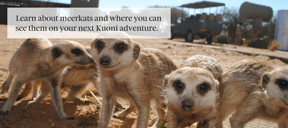 Discovering the wonderful world of meerkats