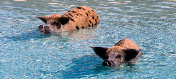 The swimming pigs of Pig Beach, Bahamas