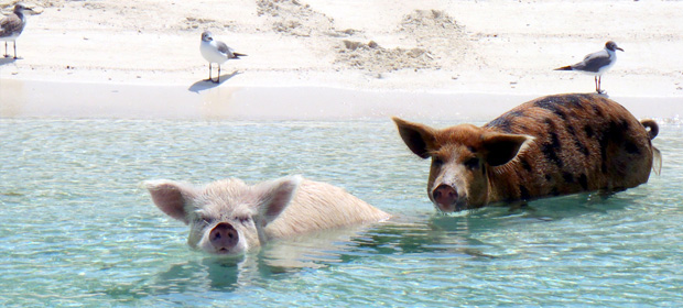 A couple of pigs relaxing on Pig Beach