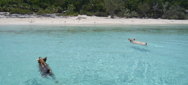 Taking a mid-afternoon swim to Pig Beach, Bahamas
