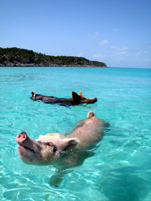 Swimming away on Pig Beach, Bahamas