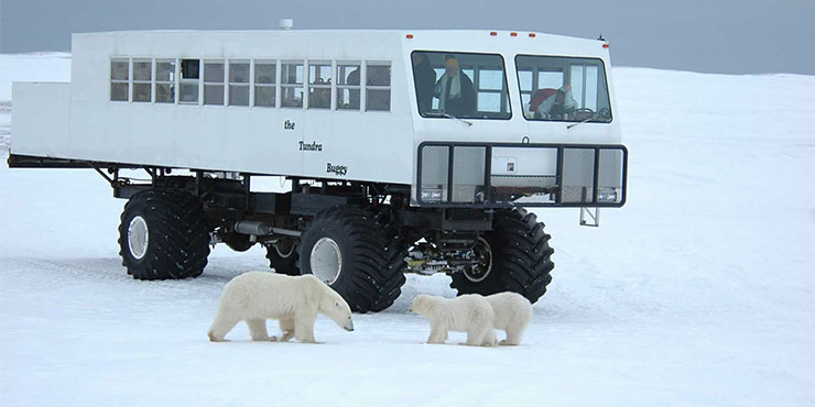 See polar bears in Churchill