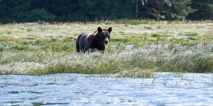 Grizzly bears at Knight Inlet