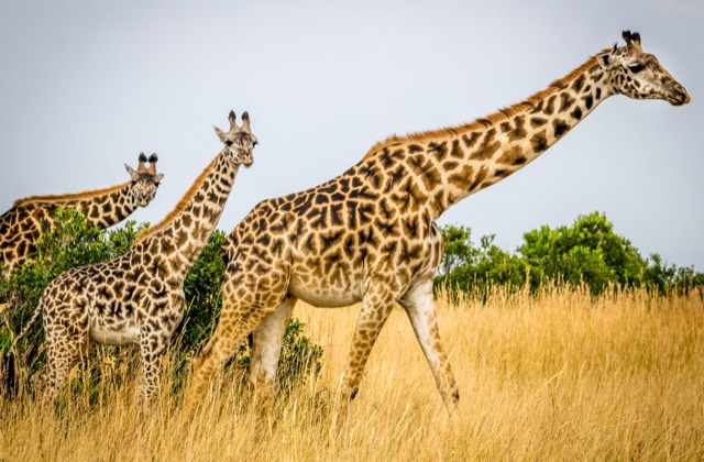 Samburu & Mara Family Safari